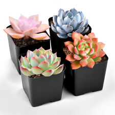 Succulent Plants, 4 Pack of Assorted Rosettes, Fully Rooted in 2'' Planter Pots