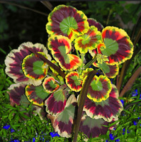 100 PCS Seeds Geranium Red Rose Pelargonium Flowers Garden Hardy Bonsai NEW 2019