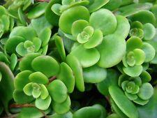 Sedum Tetractinum 'Coral Reef' -Succulent Rockery Ground-cover Plant in 9cm Pot