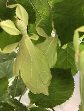 20 Eggs/œufs Phyllium Philippinicum leaf insect / phasmids / Phasme Feuille