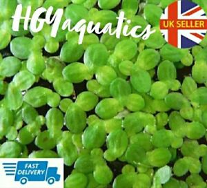 50+ Duck Weed Oxygenated Live Plants Floating Tropical Fish Aquarium Tank Pond