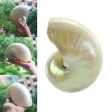 Pearled Schönheit NAUTILUS POMPILIUS Nautilus MUSCHEL S8J6