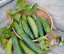 New Pack Kings Vegetable Seeds Outdoor Cucumber 'Bedfordshire Prize'