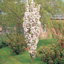 Prunus Amanogawa / Flagpole Cherry spring flowers grown peat free in 3L pot, 3ft
