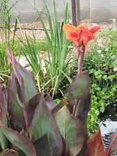 Black Knight water Canna lily Bog Marginal Pond Plant & Free Bog plant