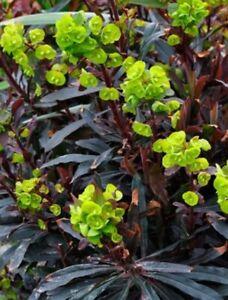 EUPHORBIA amygdaloides 'Purpurea' - Hardy Perennial Plant - ex 1 Litre Pot