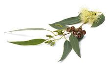 Eucalyptus Essential Oil 100%25 Pure Natural PREMIUM Therapeutic Grade Oils