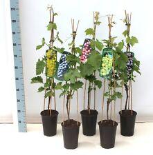 Uva 'Vanessa', Vitis vinifera en el 3l Olla 80-100cm