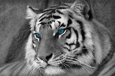 Enmarcado impresión-negro y blanco Bengal Tiger con ojos azules (Imagen Animales Salvajes)