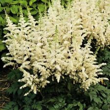 50 White Astilbe Seeds Bunter Shade Perennial Garden Flower Bloom Chinensis 718