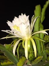 HUGE FLOWERS 3 White Epiphyllum Hylocereus Orchid Cactus, Dragon Fruit Cactus.