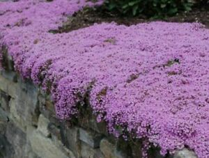 250 x Thyme 'Purple Creeping' Herb SEEDS – Quality UK Seed *Fast Dispatch*
