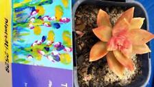 Succulents Sedeveria  Pats Pink Established