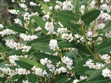 5 graines SALSEPAREILLE AUSTRALIENNE(Hardenbergia Violacea Alba)H09 SEEDS SAMEN