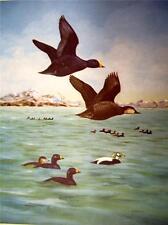 Angus H. Shortt   Original 1948 print  in Fine condition   American Scoter Duck