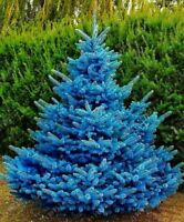30 rare Colorado blue spruce seed PICEA PUNGENS GLAUCA good for growing in pots