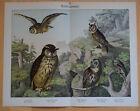 Nachtraubvögel Vögel Eulen Kauz - Alter Farbdruck um 1880 Druck Raubvögl