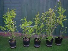 5 x VARIEGATED PRIVET SHRUBS Gold Green Plant Winter Colour Hedge Tree