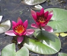 NYMPHAEA FROBELI SMALL WINE RED WATER LILY /LILLIES