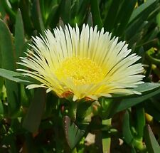 Yellow Pigface Succulent Cutting Unrooted drought tolerant Edible