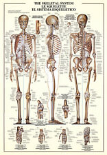THE SKELETAL SYSTEM Human Body Anatomy HUGE Wall Chart Poster