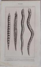 BUFFON ORIGINALE 1850 PESCI ITTIOLOGIA FISHES MURRAY MURENA MURENOPHIS FISH