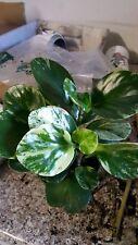 "Peperomia obtusifolia 'Variegata' - 1 Plants - Ship in 3"" Pot"