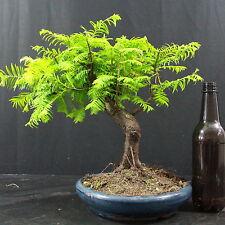 Mammutbaum, Metasequoia, Outdoor-Bonsai, 13 Jahre, 30 cm Höhe