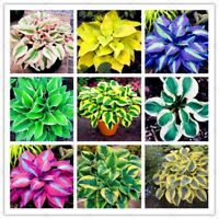 200pcs Mixed Colorful Hosta Beautiful Flower seeds Bonsai White Lace Potted Foli