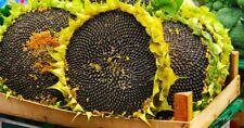 Sunflower Seeds Giant Rare Big Flower 100 Viable Seed Organic Dwarf Sunspot Yard