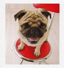 Cartolina d'auguri: PICCOLO Mops seduta auf rotem Sgabello - quadrato formato