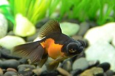 BUYGOLFISHONLINE.COM Live Red And Black Butterfly Tail (M) for aquariums/ ponds