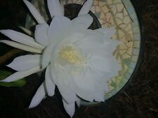 Night blooming cereus plant , Queen of the night . beautiful large fragrant bloo
