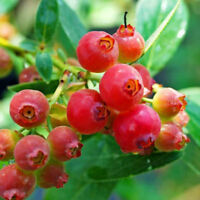 "4 Blueberry Pink Lemonade Plants Rabbiteye Four Live Plant Garden 2"" Pot"
