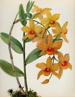 Botanical ORCHID Print Vintage Yellow Flower Print Cottage Decor Dendrobium 1921