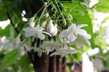 Mok Flower Tree Wrightia religiosa Very fragrant rare 10 seed