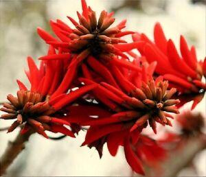 Erythrina lysistemon - Beautiful Lucky Bean Tree - Fresh Seeds