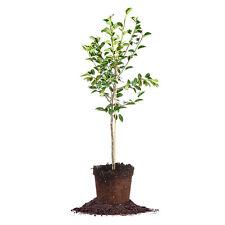 Hood Pear Tree, Live Plant, Size: 3-4 ft.