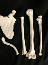 Left Humerus Ulna Radius Scapula Clavicle Bones Arm Bone Set Life Size Model