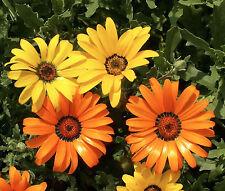 New listing African Daisy Flower Seeds - Bulk - 3,000 Seeds