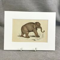 1853 Elefante Wild Animali Elefanti Vittoriano Antico Originale Stampa