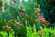 Florida Grown Edible Prickly Pear Cactus, 5 pads - Fresh Picked - with spines