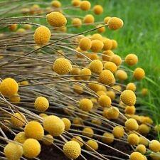 Billy Buttons Flower Seeds (Craspedia Globosa) 40+Seeds