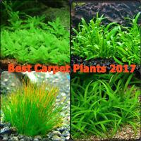 Live Aquarium Plant Set The Best Carpet 2017 Freshwater Aquatic Foreground Plant