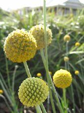 Pycnosorus globosus (Billy Button) in 75mm supergro tube Native plant