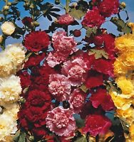 Giant Holyhock mix! upto 7ft tall double flowers! cottage garden, Hardy,Wildlife