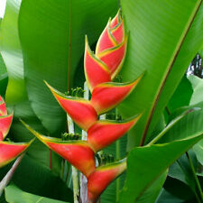 100pcs Heliconia Flower Seeds Mixed Perennial Ornamental Plant Garden Bonsai