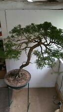 SHOW PIECE CONIFER BONSAI TREE OVER 40yrs OLD.IN ROUND FROST FREE BONSAI POT