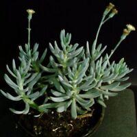 "SENECIO SERPENS ""Blue chalksticks"" Succulent Plant Succulents & Cacti"
