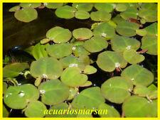 Planta de acuario o estanque. Phyllantus fluitans.8 Plantas flotantes.Pecera.